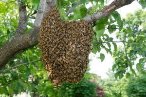 Zwerm bijen