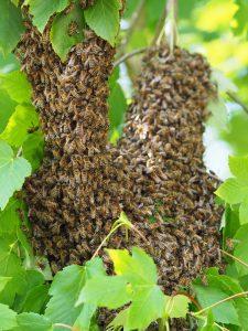 Een bijenzwerm op een tak