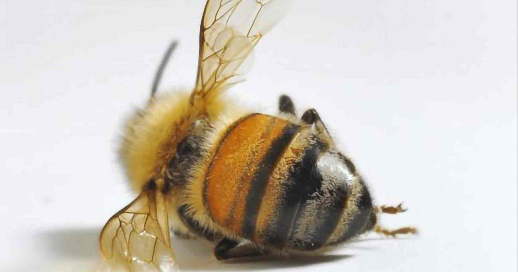 VBI-Eerstelijnshulp bij zieke bijen